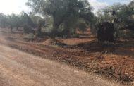 Canet lo Roig adequa els camins rurals de les oliveres mil·lenàries