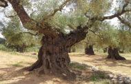 La Unió de Llauradors preveu un augment del 21% de la collita d'olives