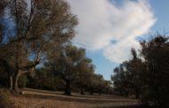 Compromís reclama al Senat mesures per defensar la rendibilitat de l'olivicultura tradicional valenciana