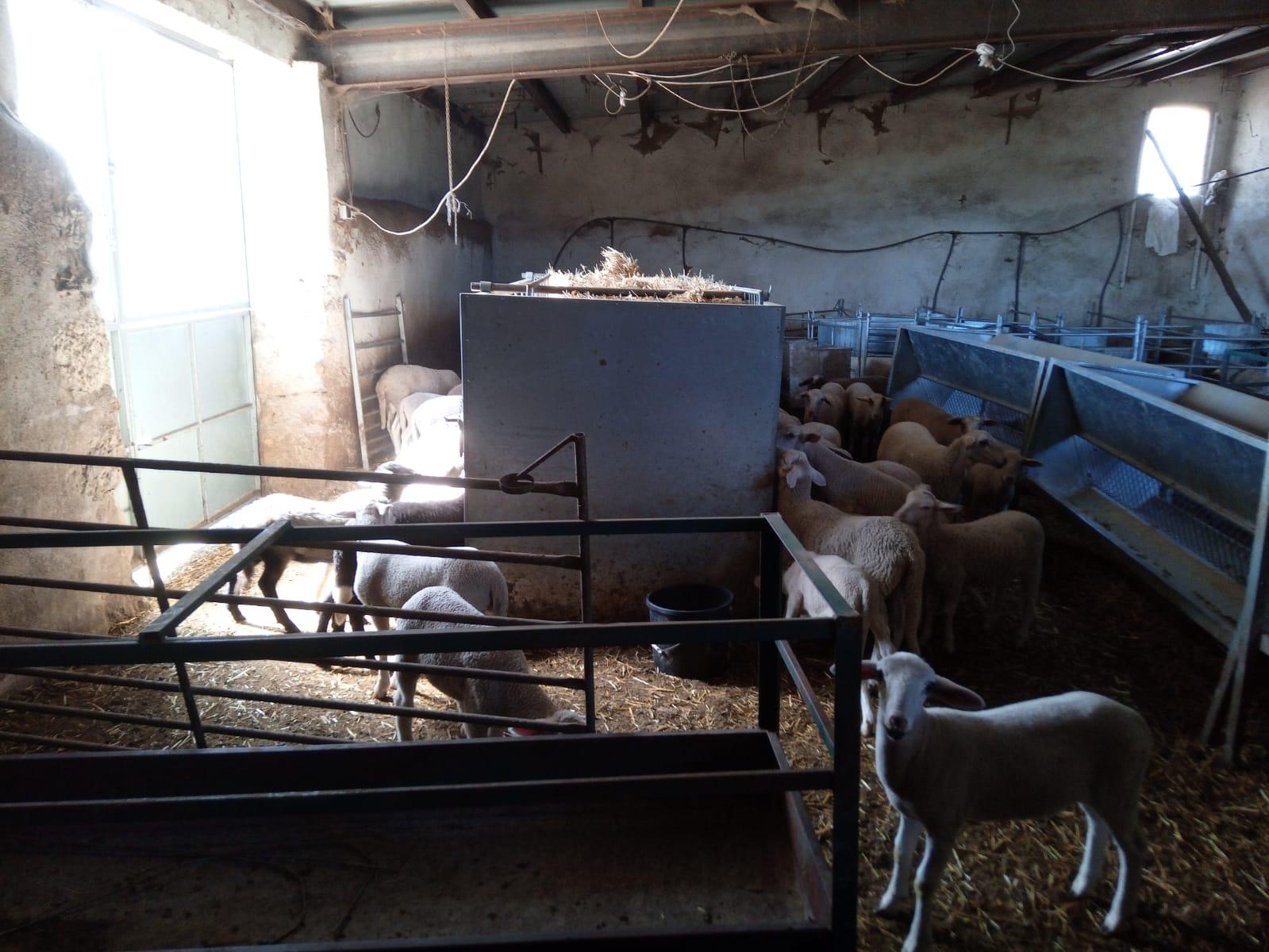FEPAC-ASAJA detecta un descens de venda en oví, boví i caprí entre la ramaderia provincial