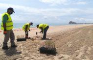 Avancen les tasques de regeneració i reforestació dunar en la platja Nord de Peníscola