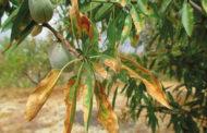 Agricultura denuncia la detecció d'una partida de material vegetal dels EUA infectat de 'Xylella' en el port de Castelló