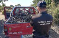Sant Jordi col·labora per a evitar els robatoris de garrofes després d'haver-se multiplicat enguany
