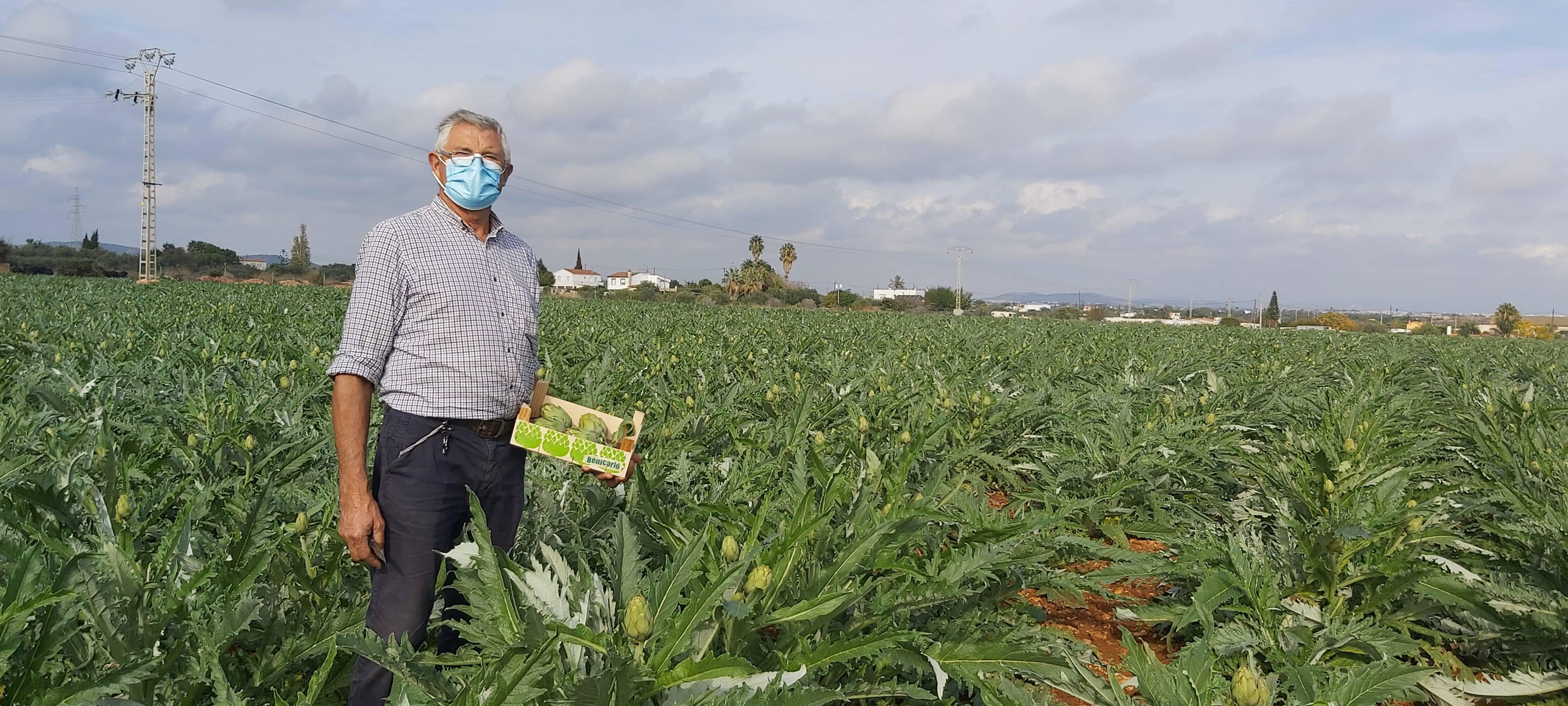 El CRDOP Carxofa de Benicarló espera una bona campanya tant en qualitat com en demanda