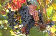 Agricultura destina 2,6 milions per a lluitar contra l'arna de la vinya a través de paranys amb feromones